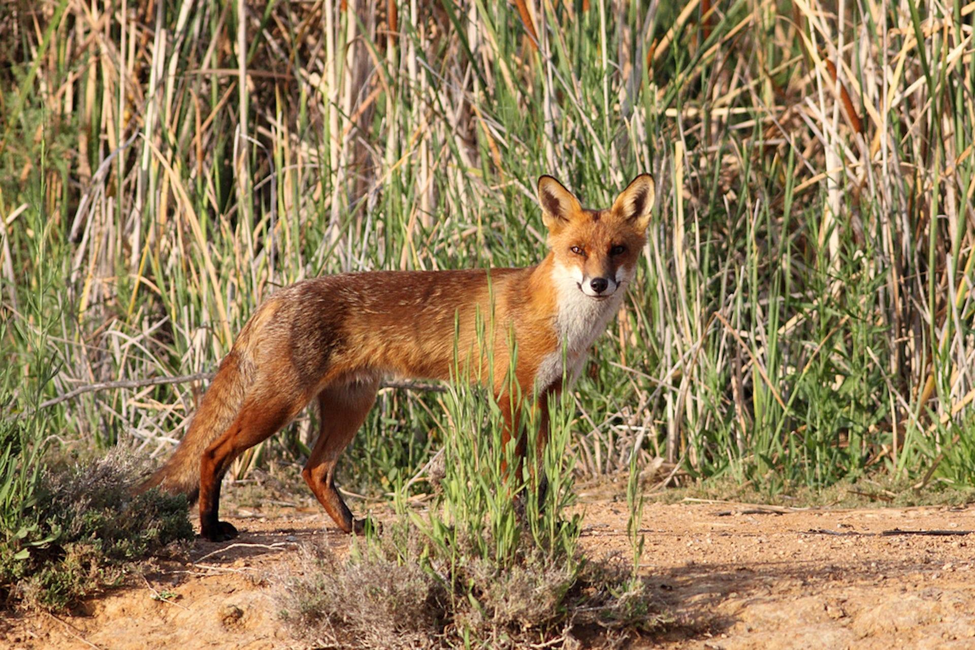 Red fox, Australian invasive species