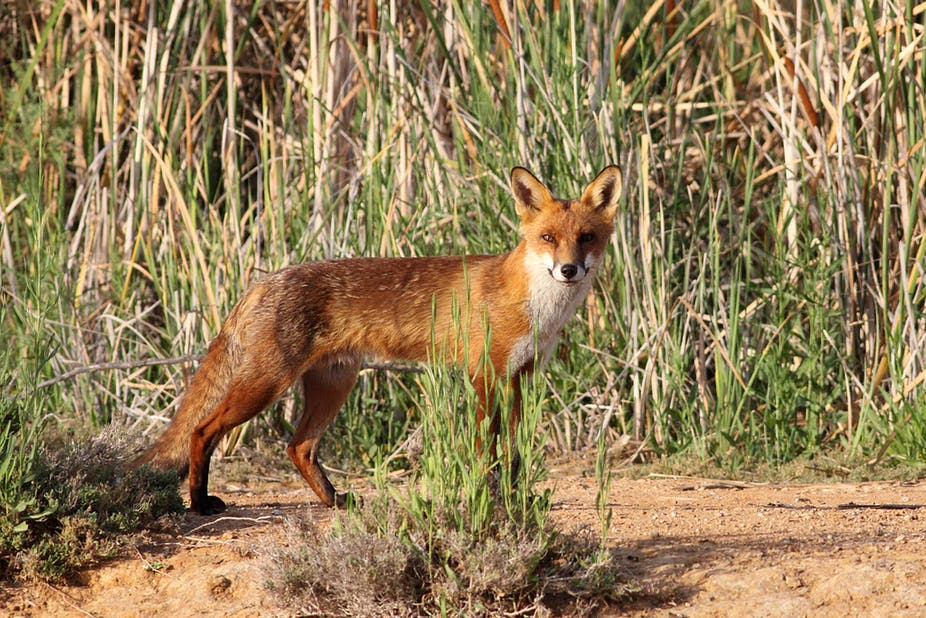 Red fox, Australian invasive species