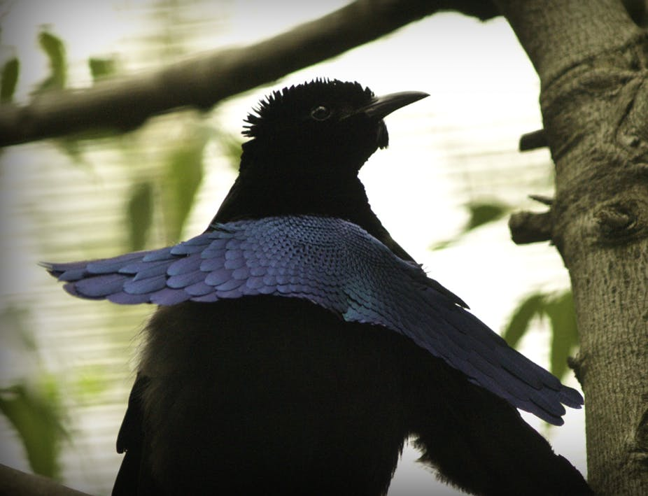 Super Black Feathers Can Absorb Virtually Every Photon Of Light That Hits Them