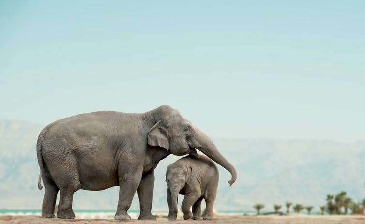 elephant-and-offspring