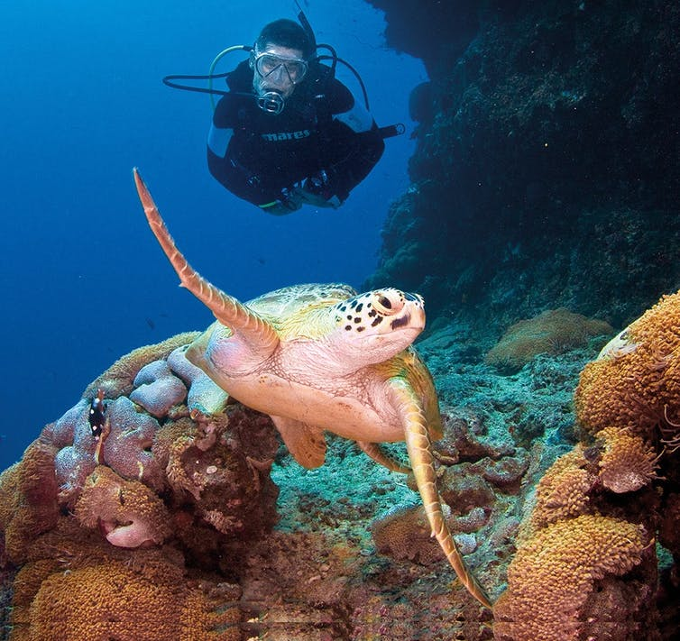 How can we halt the feminisation of sea turtles in the northern Great Barrier Reef?
