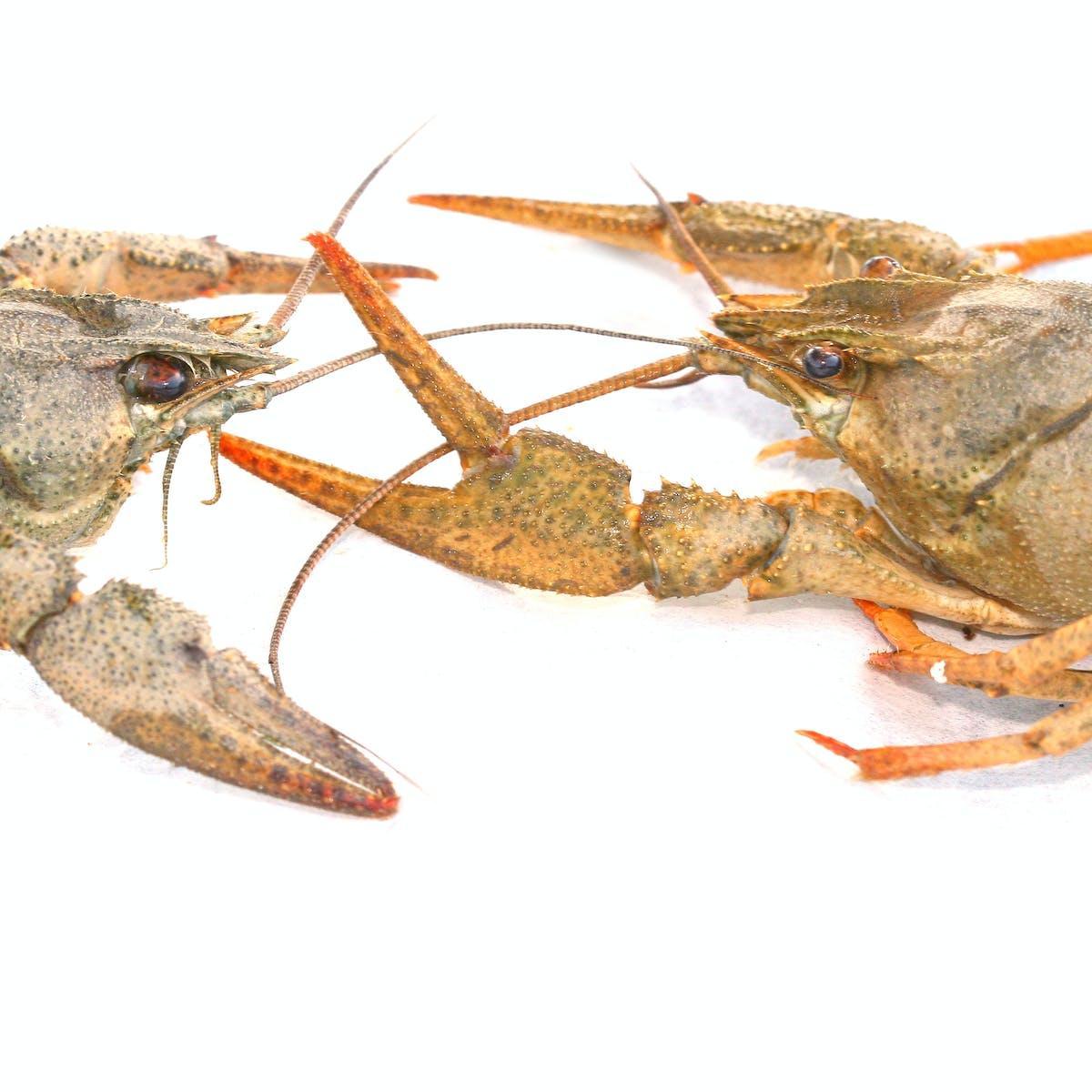 Psychologist Jordan Peterson says lobsters help to explain