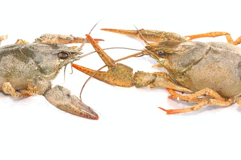 Psychologist Jordan Peterson says lobsters help to explain