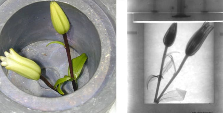 Neutrons, another type of radiation, work differently than x-rays. Neutrons can shine straight through heavy objects like metals but are stopped by lighter objects. This picture is a neutron radiograph showing a soft flower inside a thick and heavy lead box. darpa.mil