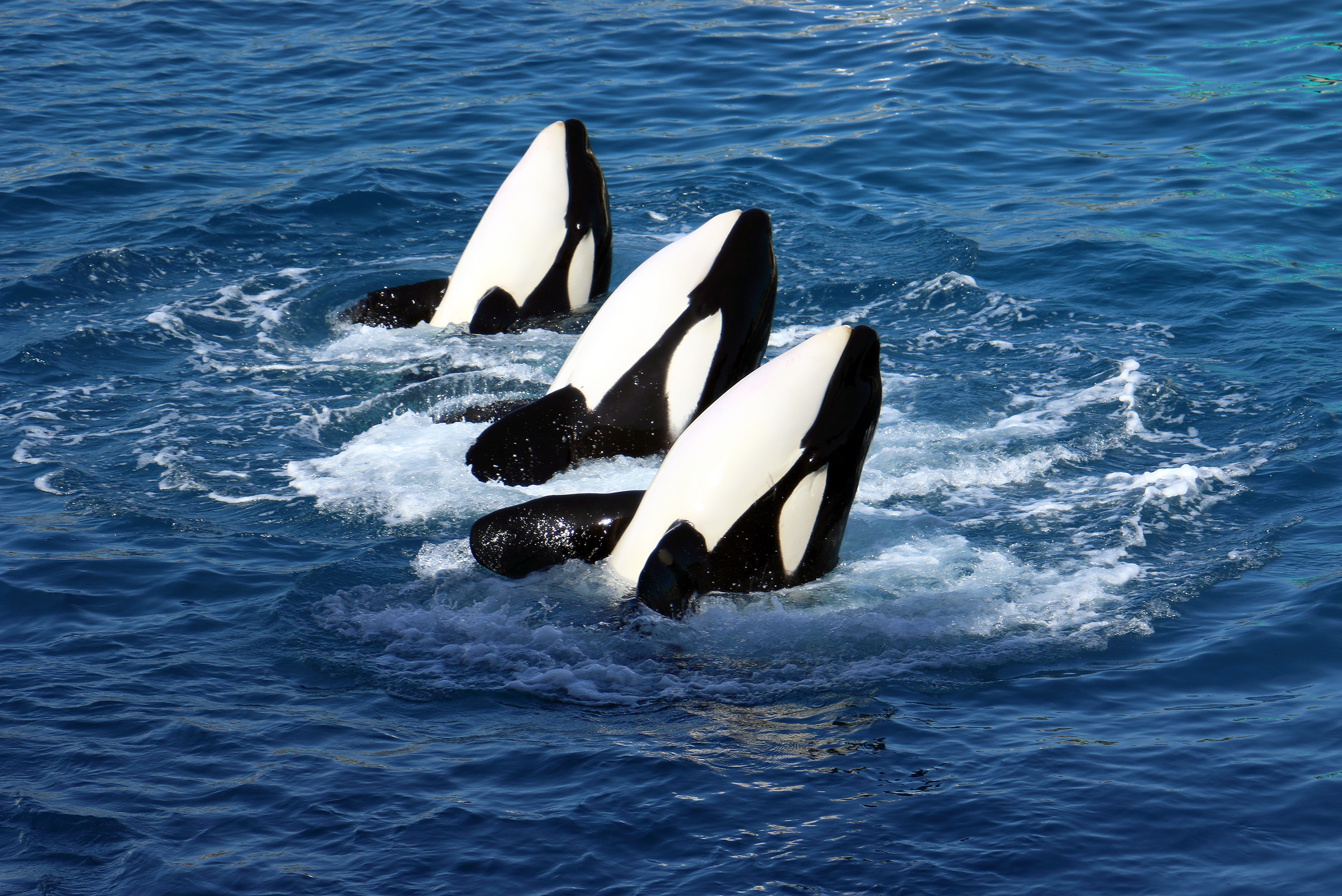 Killer whale learns to talk to humans
