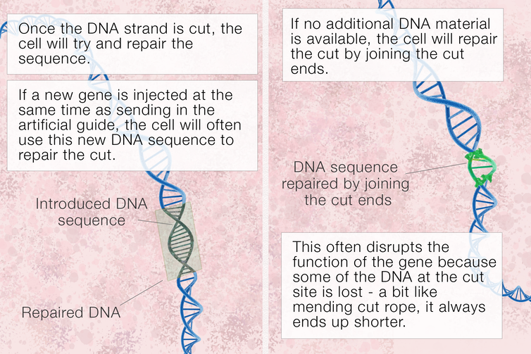 if we inject new dna it will take the place of the dna we have cut
