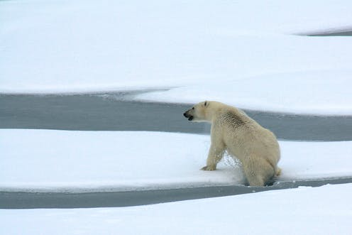 As Arctic Sea Ice Shrinks New Research Shows How Much Energy Polar Bears Use To Find Food