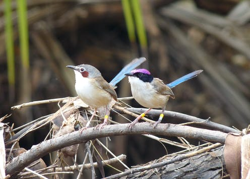 How deep is your cheep? Why songbirds sing their size