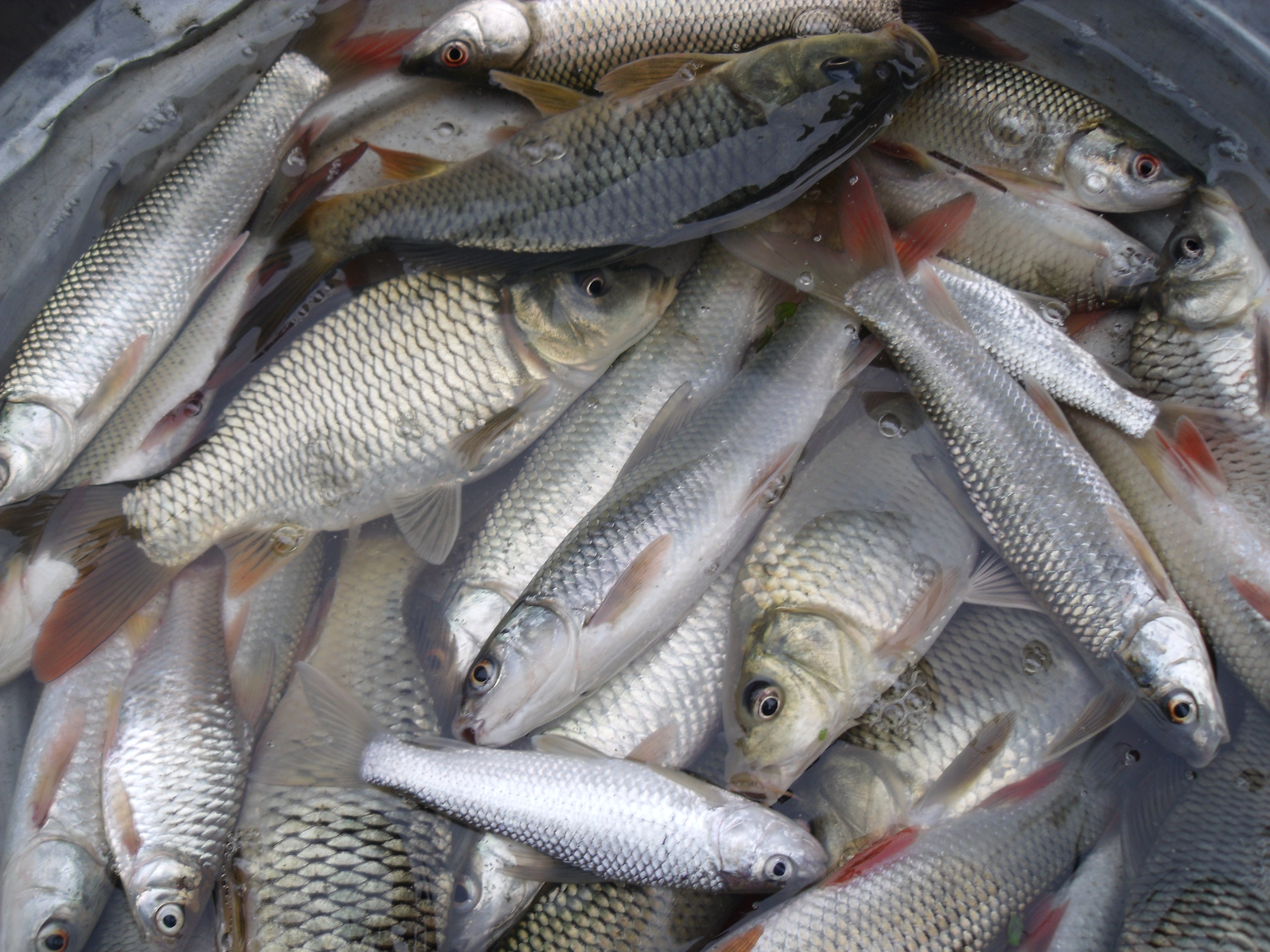 Farmed fish like these carp now make an important contribution to global food security.