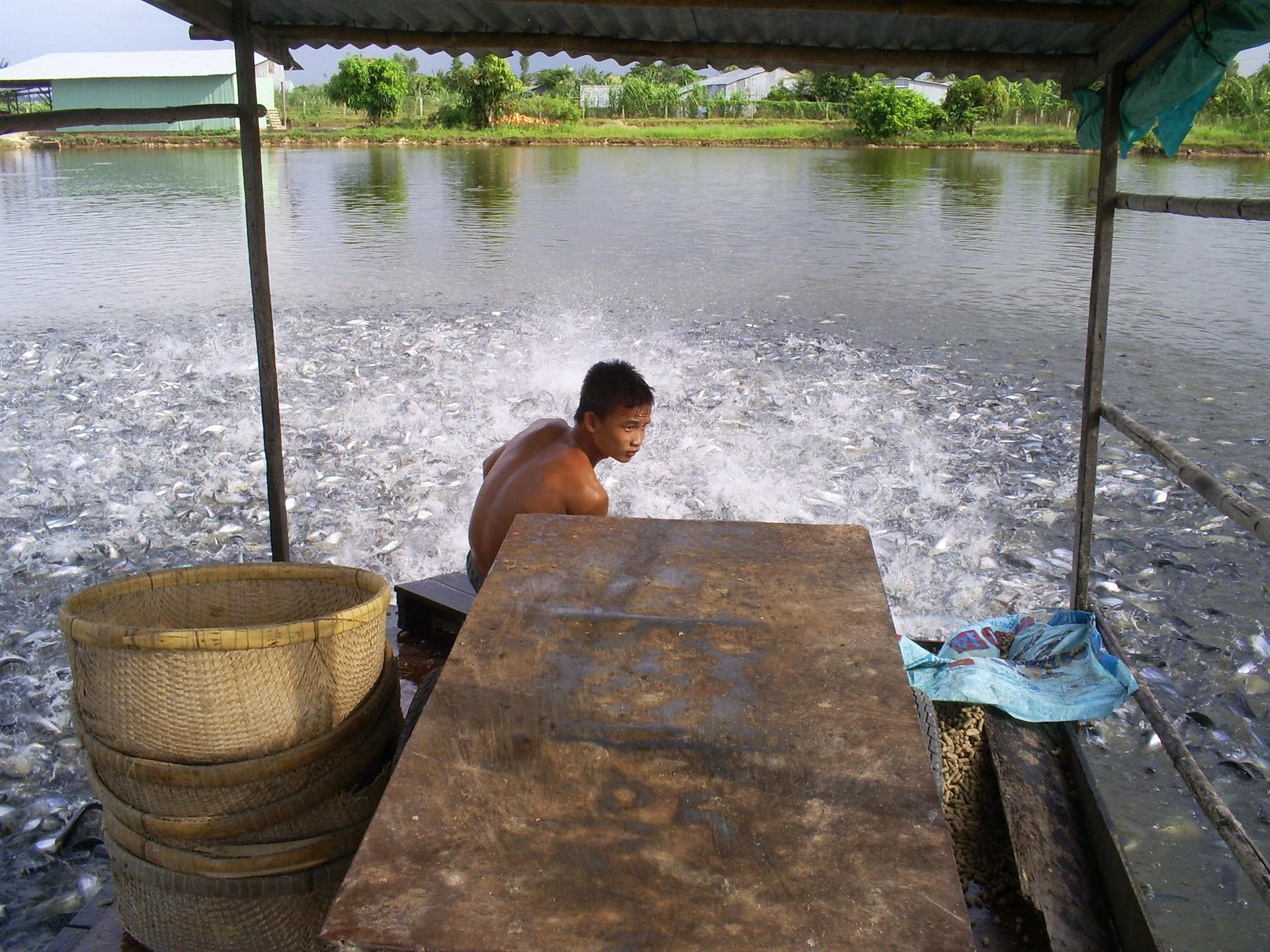 Farming pangasius catfish for export in Vietnam