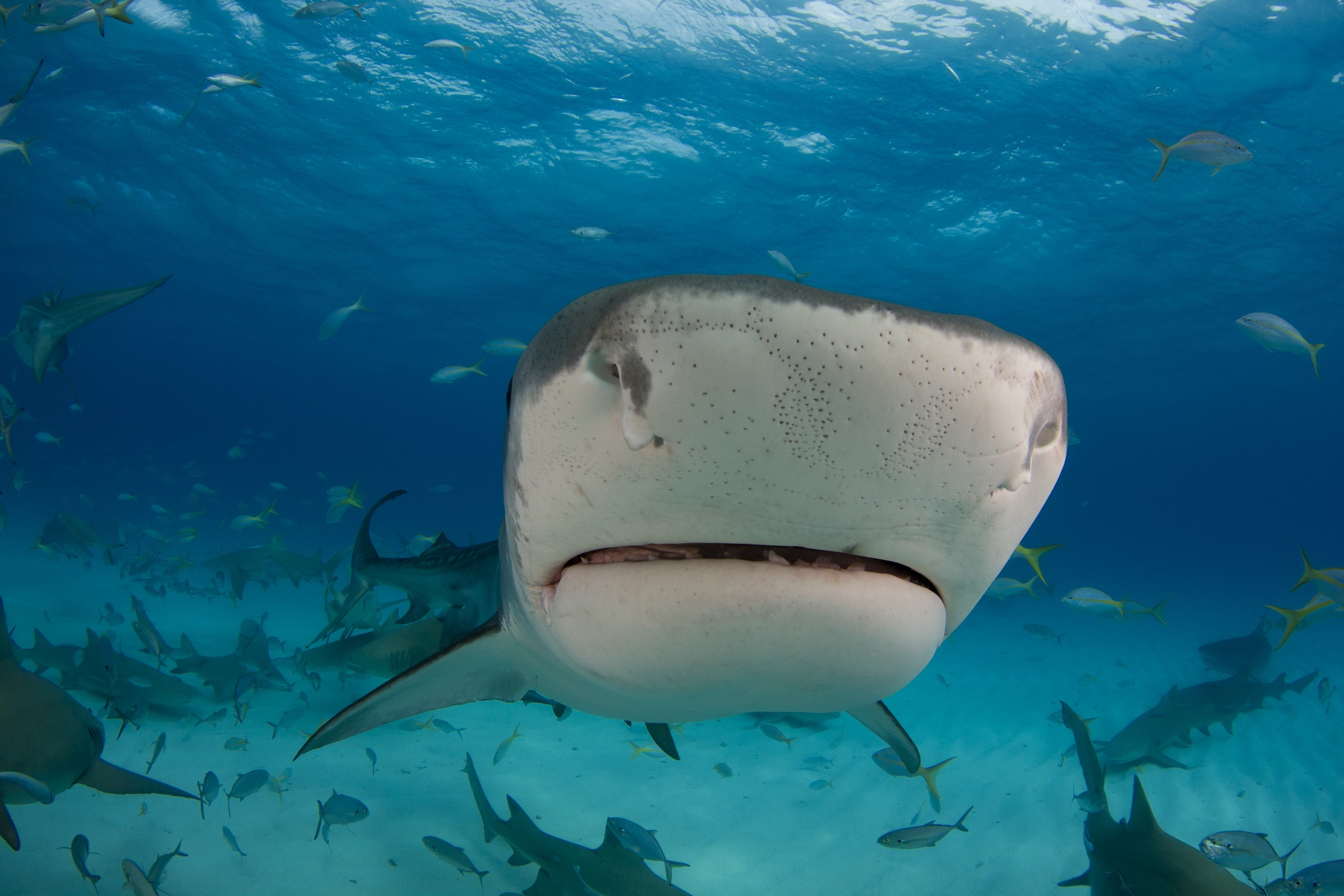 The shocking facts revealed: how sharks and other animals evolved electroreception to find their prey