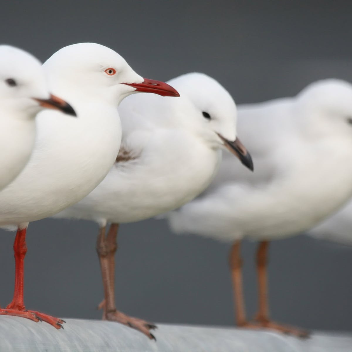 Curious Kids: Where do seagulls go when they die and why don't we