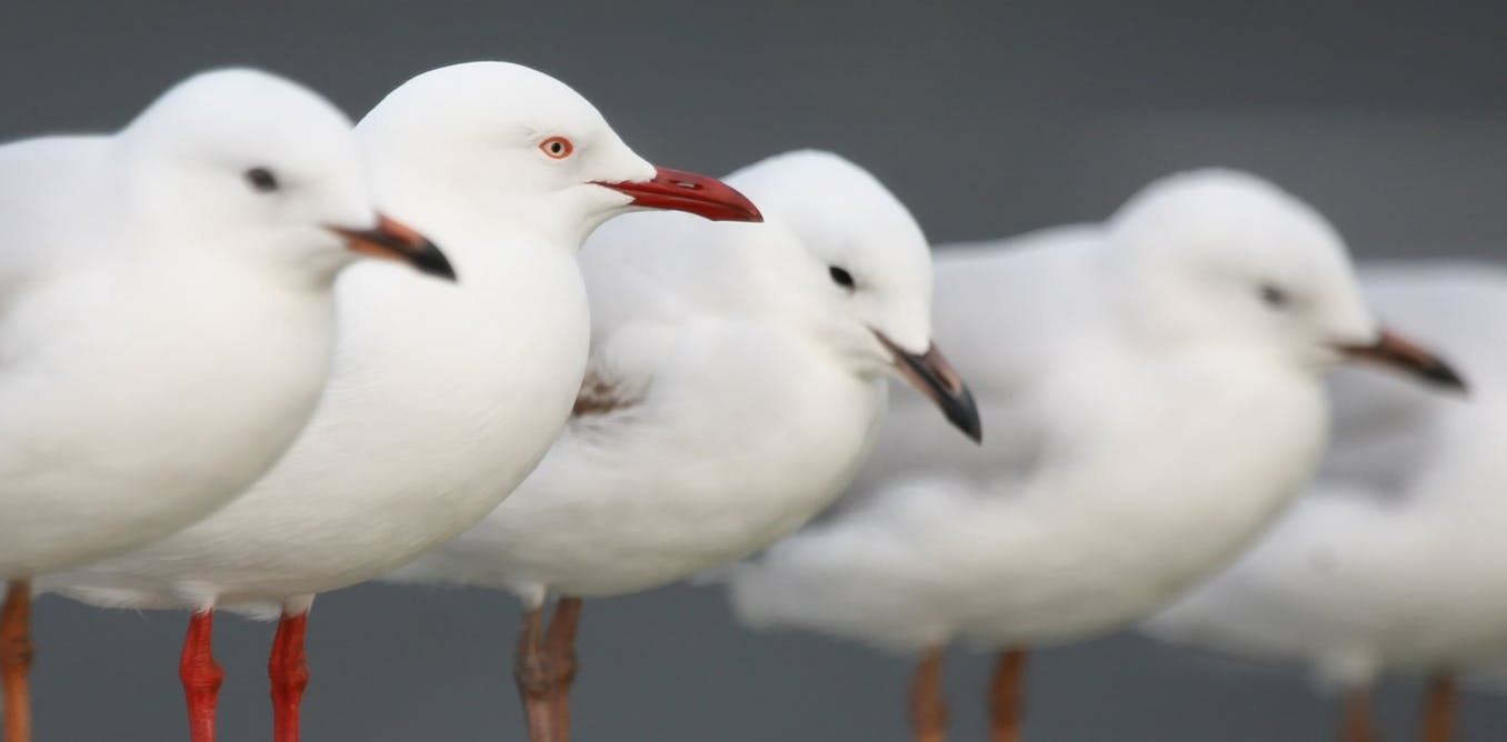 Why Bird Brain Shouldnt Be Considered >> Curious Kids Where Do Seagulls Go When They Die And Why Don T We