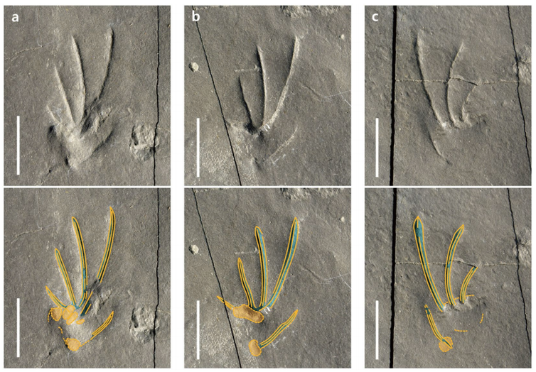 Footprint fossils suggest lizards have been running on two