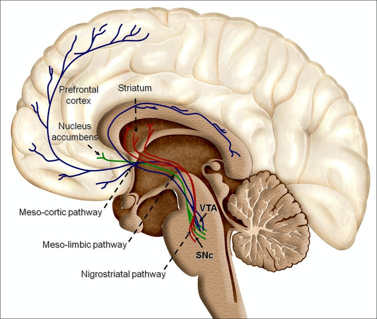 Overview of reward structures in the human brain. By Oscar Arias-Carrion, Maria Stamelou, Eric Murillo-Rodriguez, Manuel Menendez-Gonzalez and Ernst Poppel./Wikimedia.org, CC BY-SA