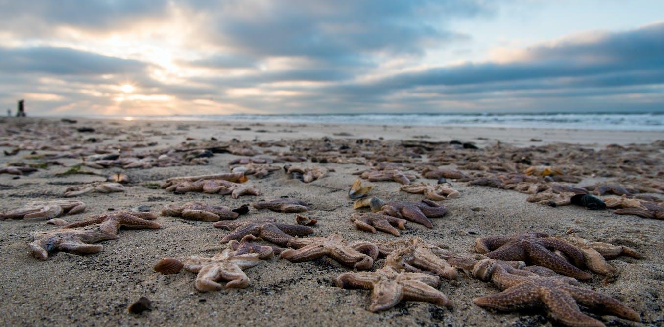 Q Marine Technology Thousands of starfish ...