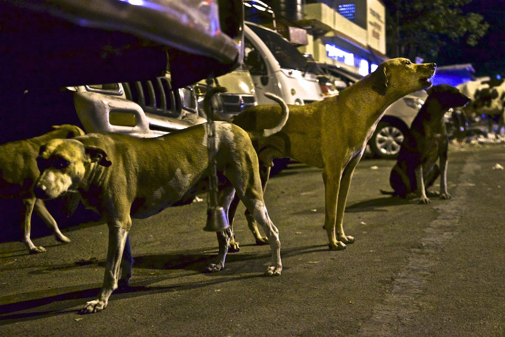 The dogs of Mumbai. Photo credit: Steve Winter/National Geographic, Author provided