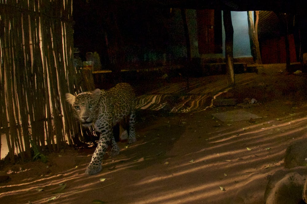 Leopards prey on Mumbai's dogs. Photo credit: Steve Winter/National Geographic, Author provided