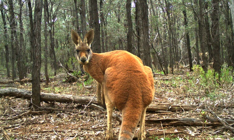 Photosynthesis Essay The Iconic Red Kangaroo Large Kangaroos Are Typically Widespread And  Secure Unlike Many Of Their Smaller Cousins Karl Vernes Columbia Business School Essay also Healthy Mind In A Healthy Body Essay Yes Kangaroos Are Endangered  But Not The Species You Think Www Oppapers Com Essays