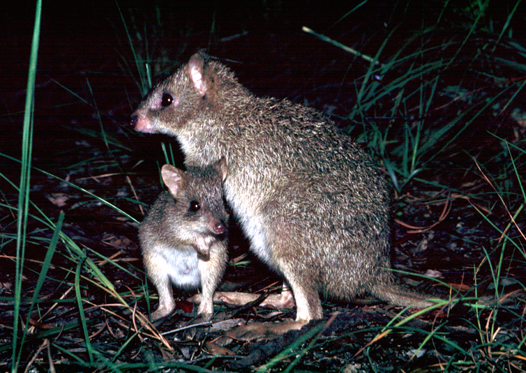 Yes, kangaroos are endangered – but not the species you think