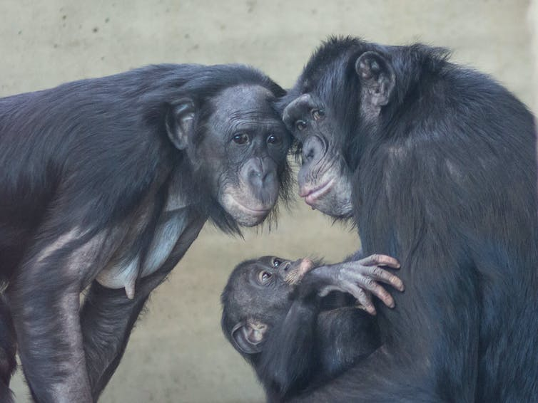 Can chimpanzees turn into people?