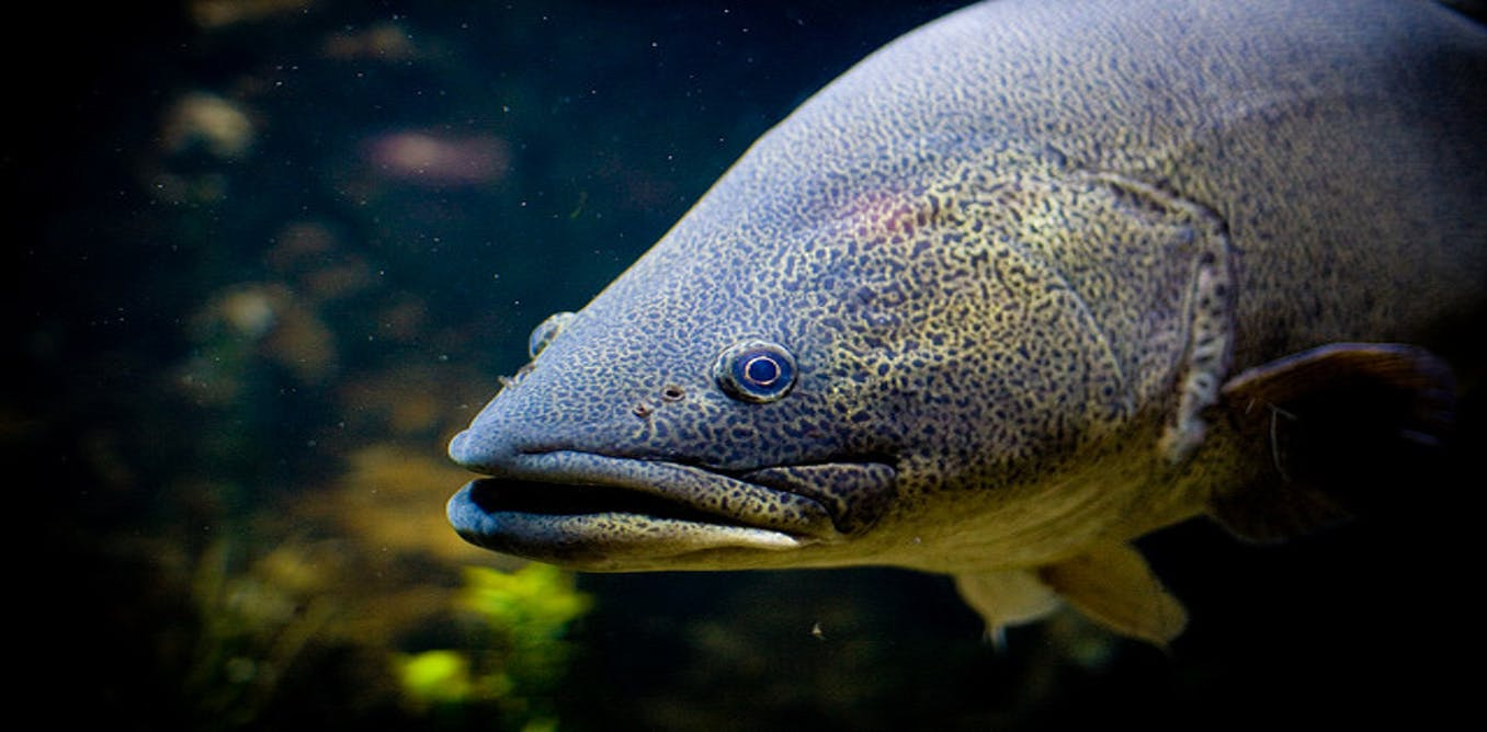 Monster Murray Cod Fishing Retreat