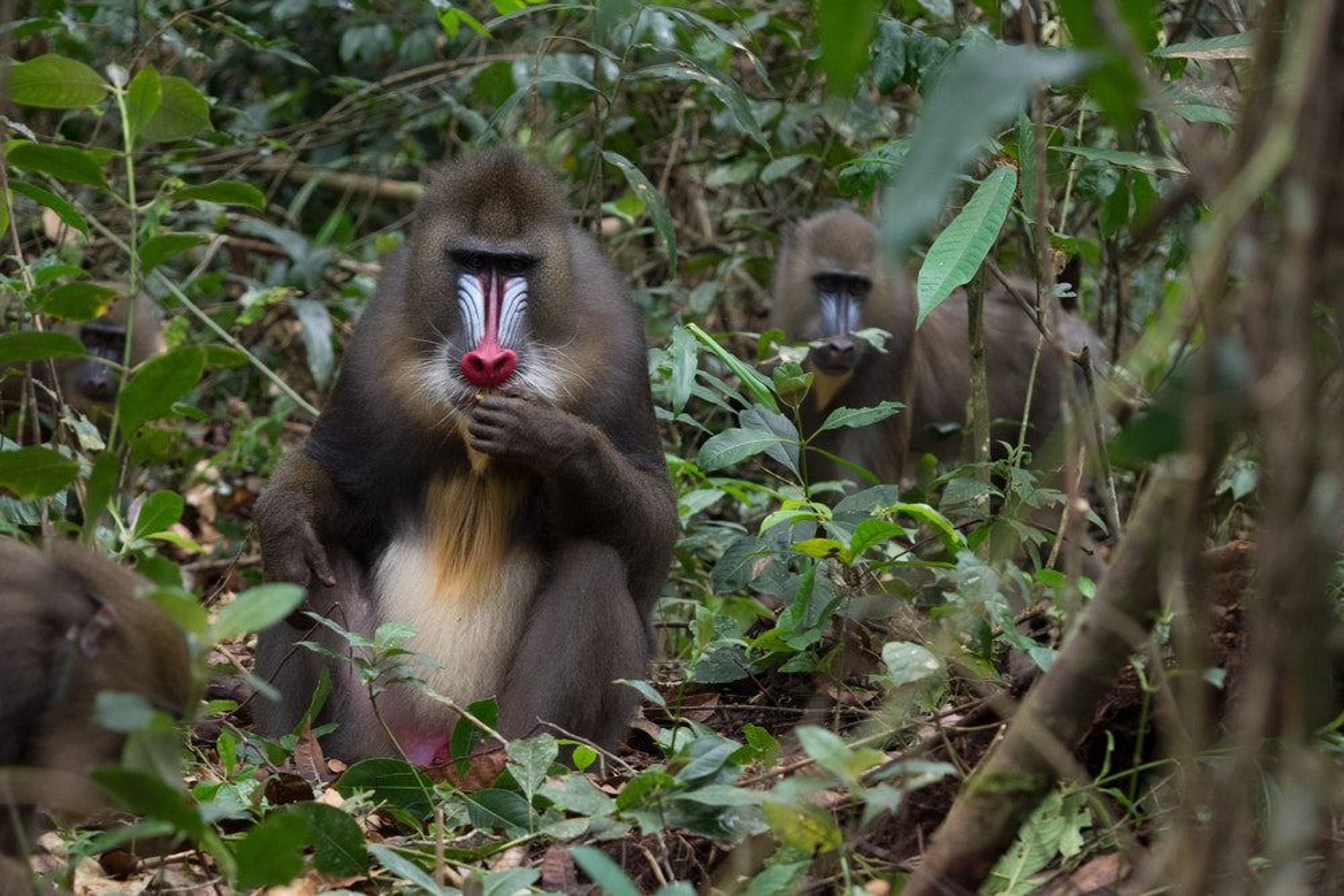 Batéké Park mandrills Gabon