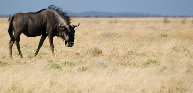 African Animals News Research And Analysis The Conversation