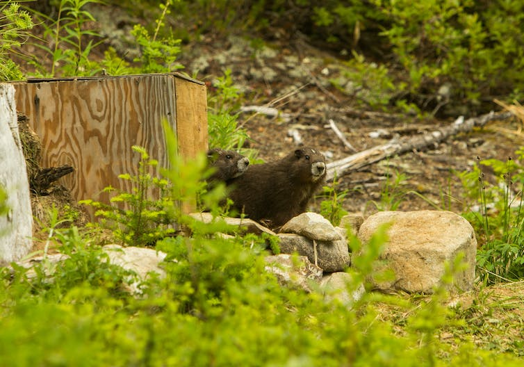 Newly released marmots peer out at onlookers on Vancouver Island in June 2015.