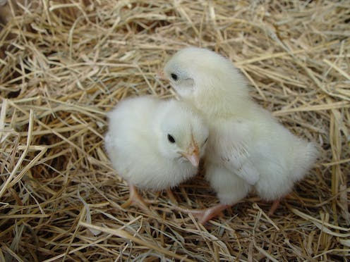 I've always wondered: can two chickens hatch out of a double