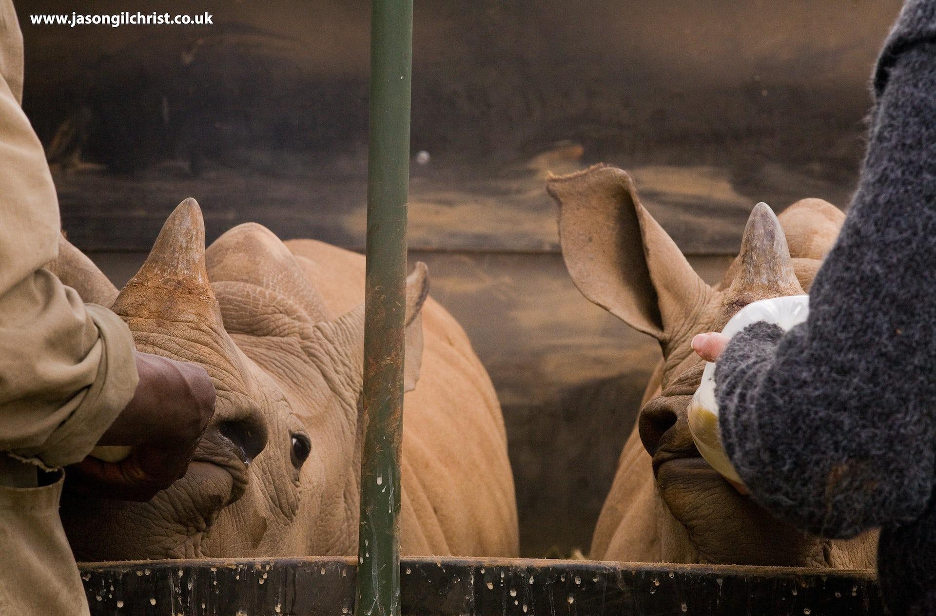 single horn rhino role in their ecosystem