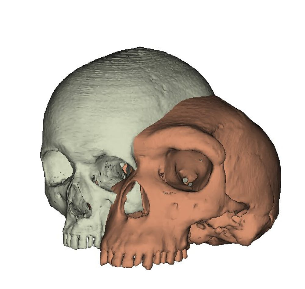 Model of a modern human cranium (left) shown next to a model of an archaic human (Kabwe 1) (right). Author provided