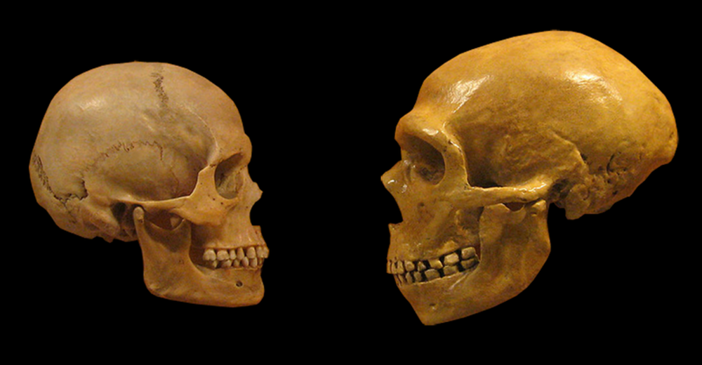 Fossil modern human (left) and fossil Neanderthal crania (right). Author provided