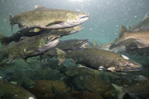 Salmon farms are in crisis – here's how scientists are