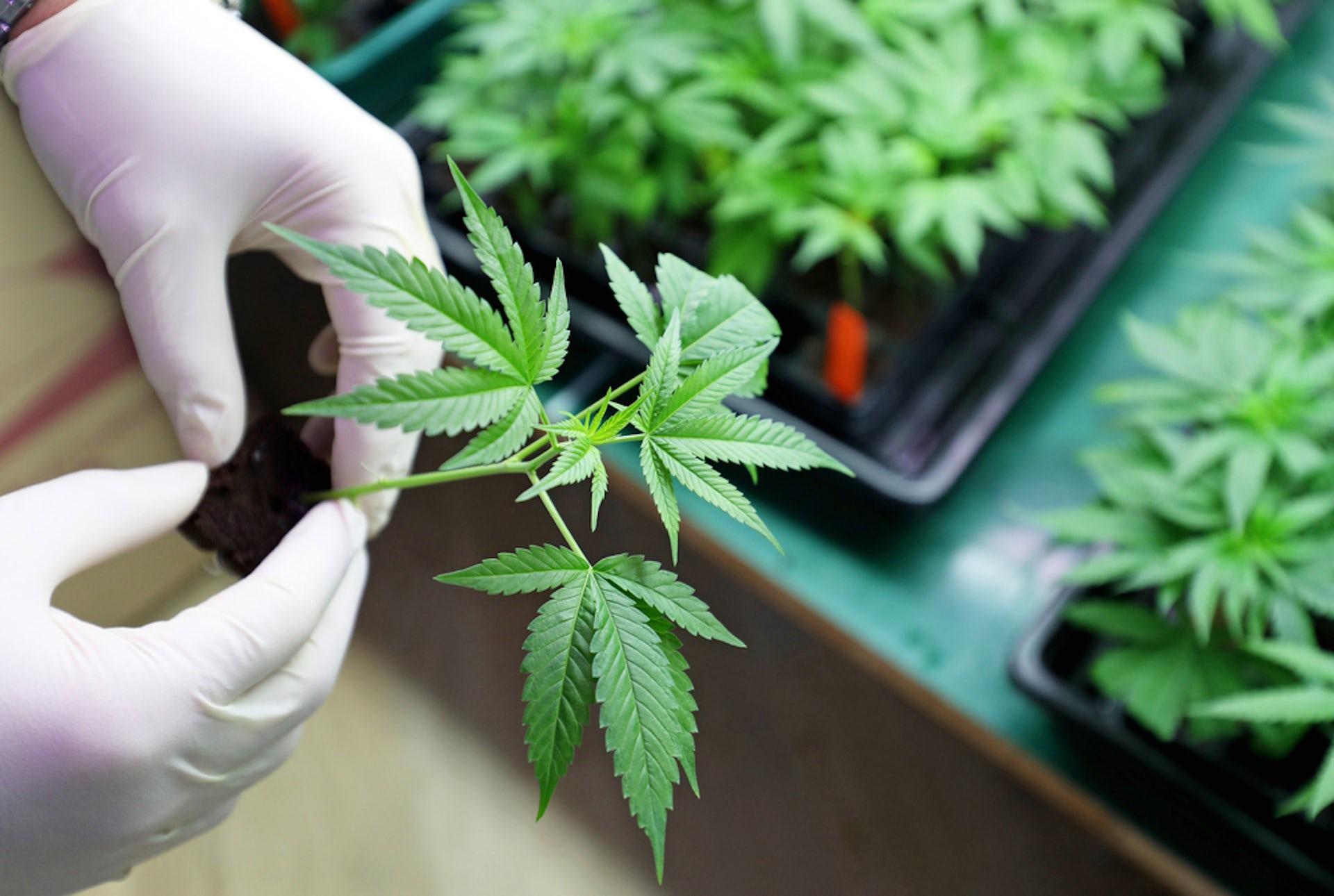 pros of medical marijuanas