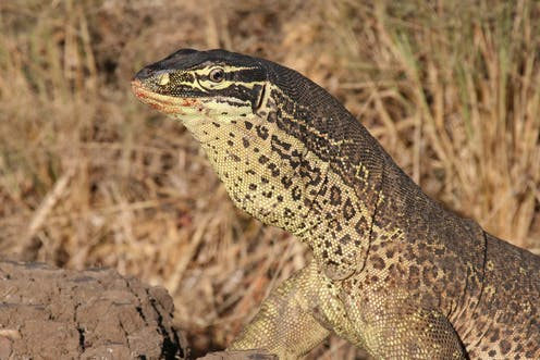 Australia's reptiles may be spreading rat poison through the food chain