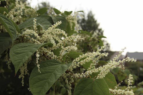 We've found the best way to control Japanese knotweed