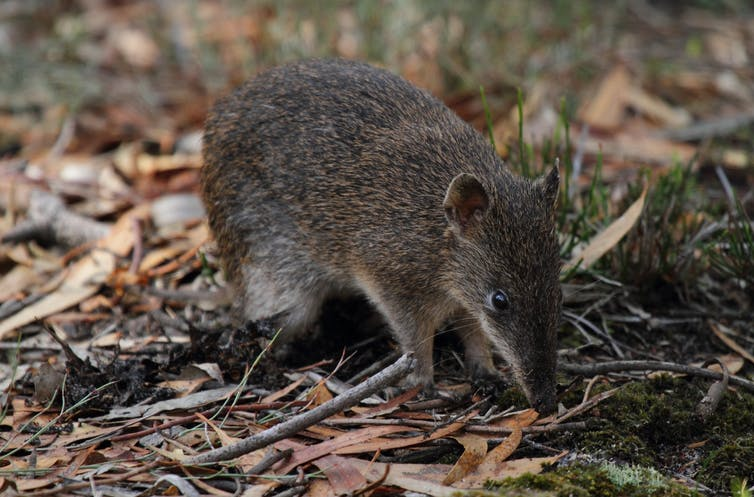 Bandicoots live among us in Melbourne