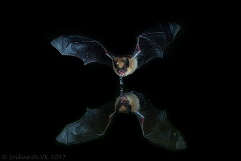 Could Bats Guide Humans To Clean Drinking Water In Places Where It S Scarce