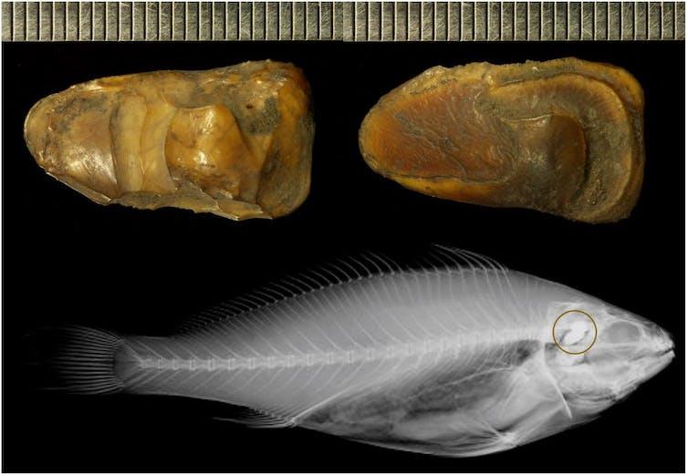 How we're using fish ear bones as 'time capsules' of past river health