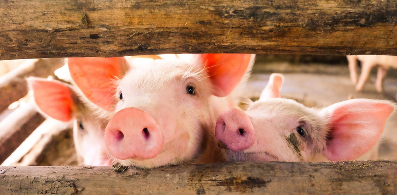 Scientists reanimate disembodied pigs' brains - but for a ...
