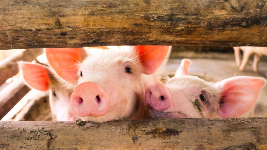 scientists reanimate disembodied pigs brains but for a human mind
