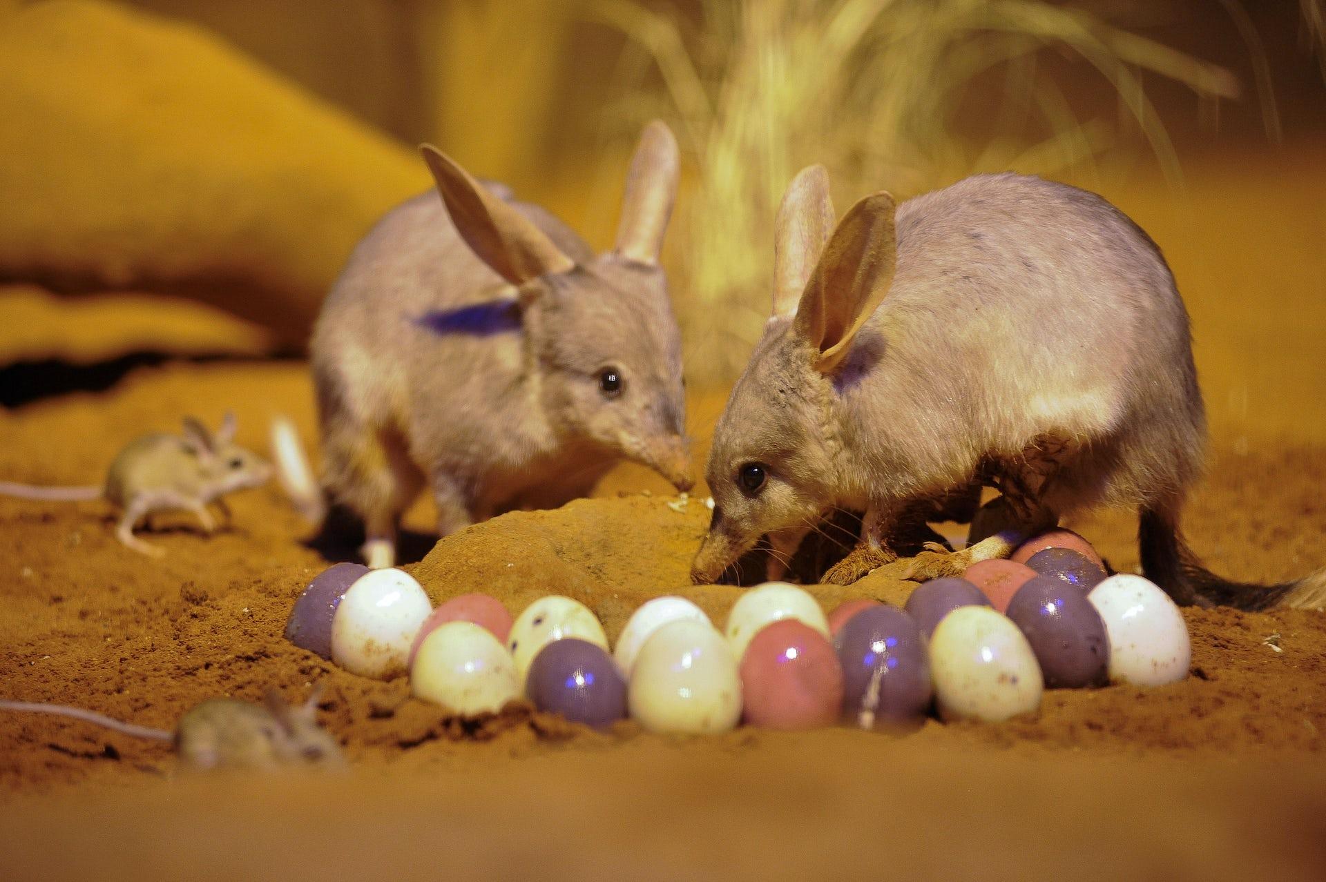Кроличий бандикут (Билби). Пасха в Австралии.