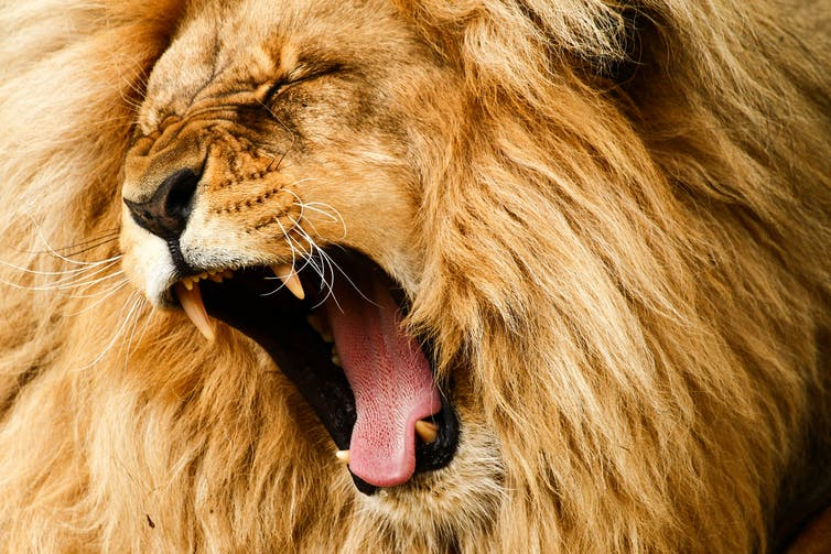 Attitude Like A Lion