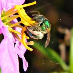 A sweat bee uses 'buzz pollination' to dislodge pollen grains from a flower.