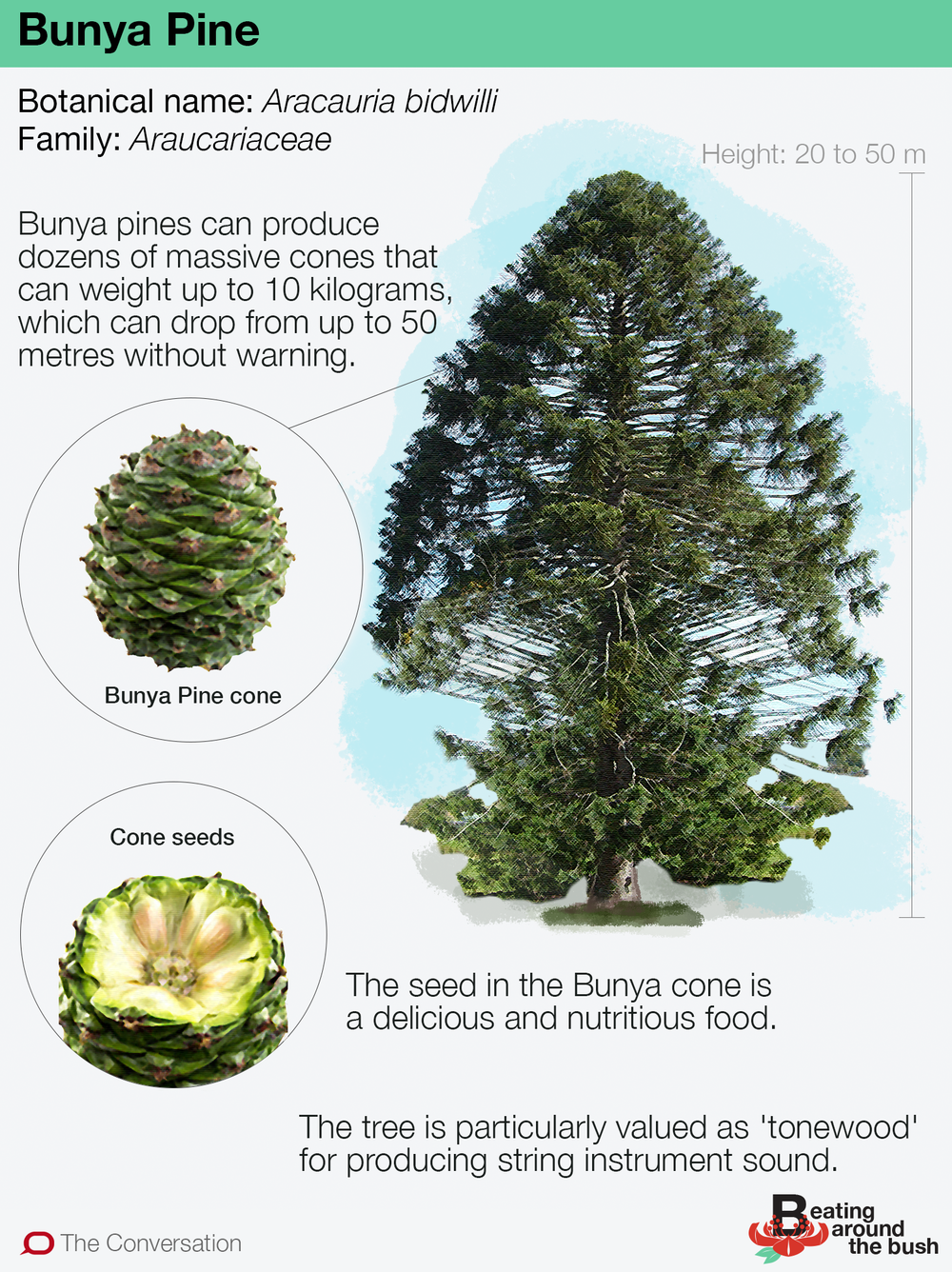 Bunya Pines Are Ancient Delicious And Possibly Deadly