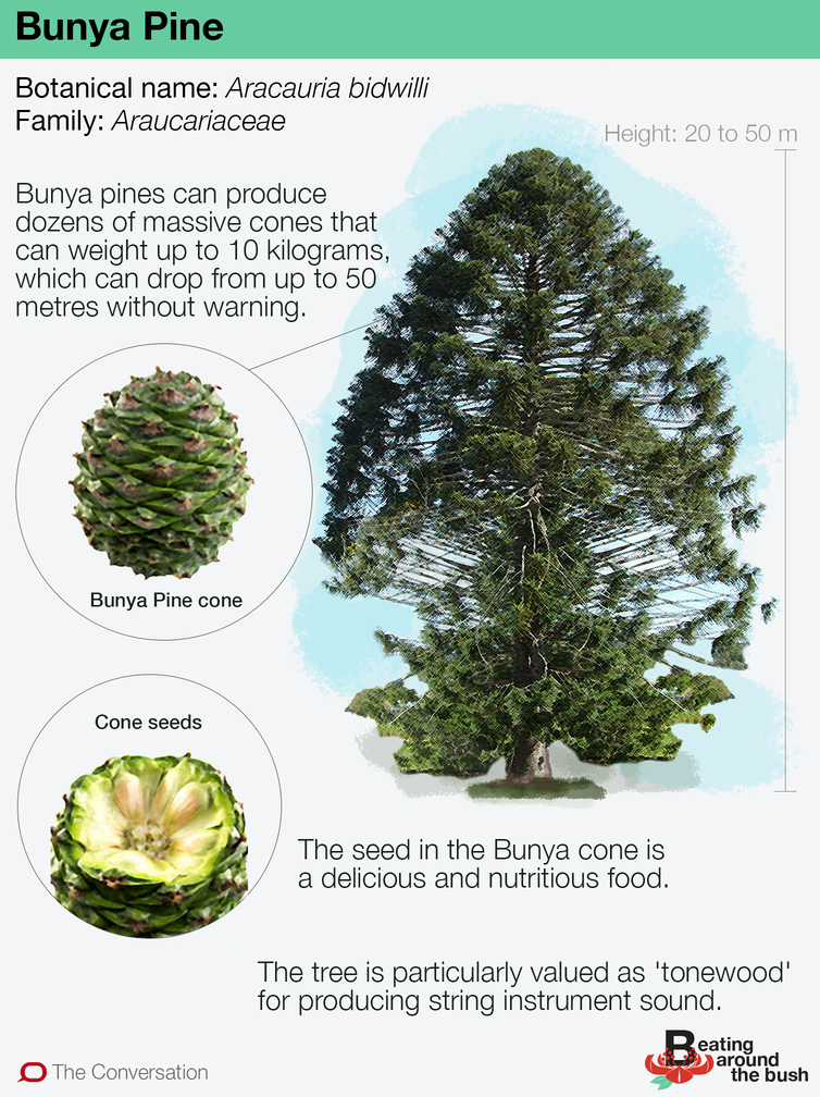 Bunya pines are ancient, delicious and possibly deadly