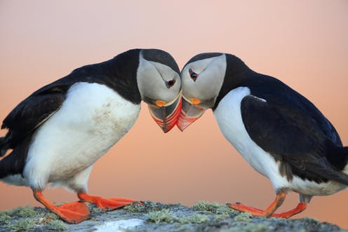 The Threats Behind The Plight Of The Puffin