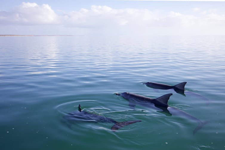 Male dolphins use their individual 'names' to build a complex social network