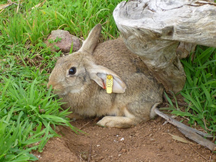 Tandem virus cocktail kills pest rabbits more effectively